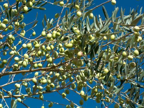 Huile d'olive, huile prodigieuse
